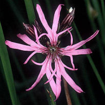 picture of ragged robin