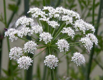 picture of dropwort