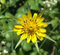 picture of goatsbeard
