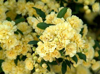 picture of Banksiae Lutea