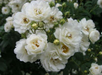 picture of Rambling Rector