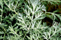 photo of Artemisia absinthium 'Lambrook Silver'