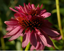 picture of Echinacea purpurea 'Doubledecker'