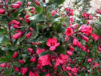 picture of Escallonia 'Donard Radiance'