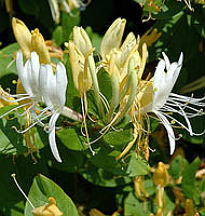 picture of Lonicera japonica 'Halliana'