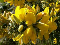 picture of Ulex europaeus