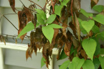 picture of clematis wilt