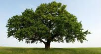 picture of oak tree