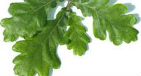 picture of oak leaf