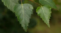 picture of silver birch leaves