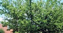 picture of field maple tree