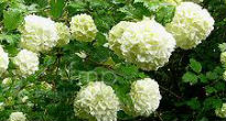 picture of guelder rose