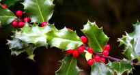 picture of green holly
