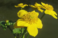 picture of caltha palustris