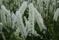 picture of cimicifuga 'white pearl'