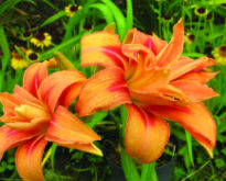 picture of hemerocallis fulva 'flore pleno'