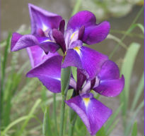 picture of iris ensata