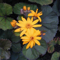 picture of ligularia dentata 'desdemona'