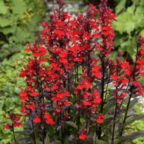 picture of loelia cardinalis 'queen victoria'