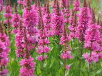 picture of lythrum saliaria 'firecandle'