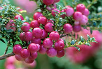 picture of Pernettya mucronata 'Mulberry Wine'