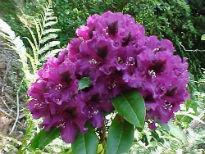 picture of Rhododendron 'Purple Splendour'