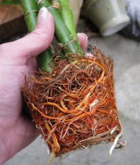 picture of  root bound plant