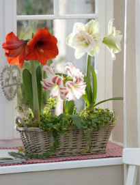 picture of amaryllis pot plant on windowsill
