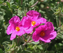 picture of Cistus pulverentus 'Sunset'