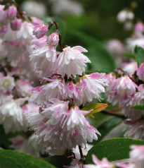 picture of Deutzia 'Pride of Rochester'