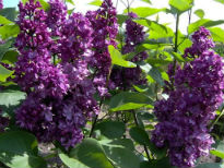 picture of Syringa 'Charles Joy'