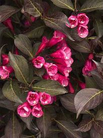 picture of Weigela 'Wine and Roses'