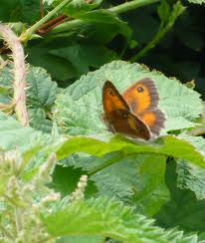 picture of butterfly on nettles and bracken
