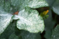 picture of powdery mildew