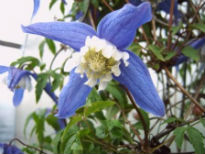 picture of Clematis alpina 'Francis Rivis'