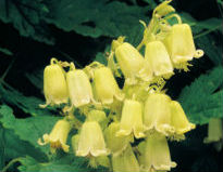 picture of Clematis rehderiana