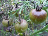 picture of tomato blight