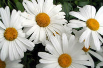 picture of Leucanthemum