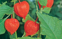 picture of Physalis franchetii
