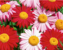 picture of Pyrethrum roseum
