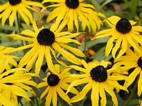 picture of Rudbeckia
