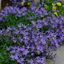 picture of Campanula poscharskyana (Bellflower)