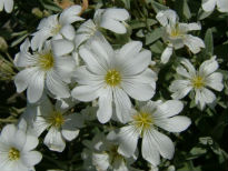 picture of Cerastium (Snow-in-summer)