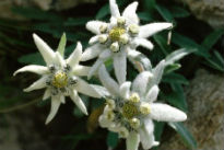 picture of Leontopodium (Edelweiss)