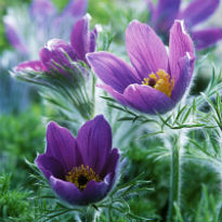 picture of Pulsatilla vulgaris (Pasque Flower)