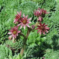 picture of Sempervivum tectorum (Houseleek)