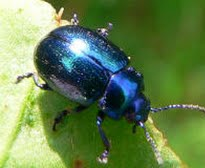 picture of blue mint beetle
