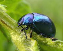 picture of another blue mint beetle