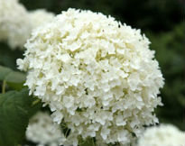 picture of H. arborescens 'Annabelle'