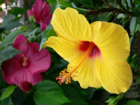 picture of Hibiscus rosa sinensis